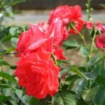 Trandafiri batuti